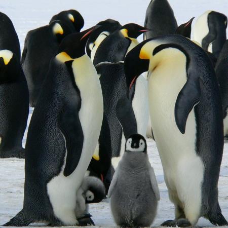 Pingüins emperador amb cries