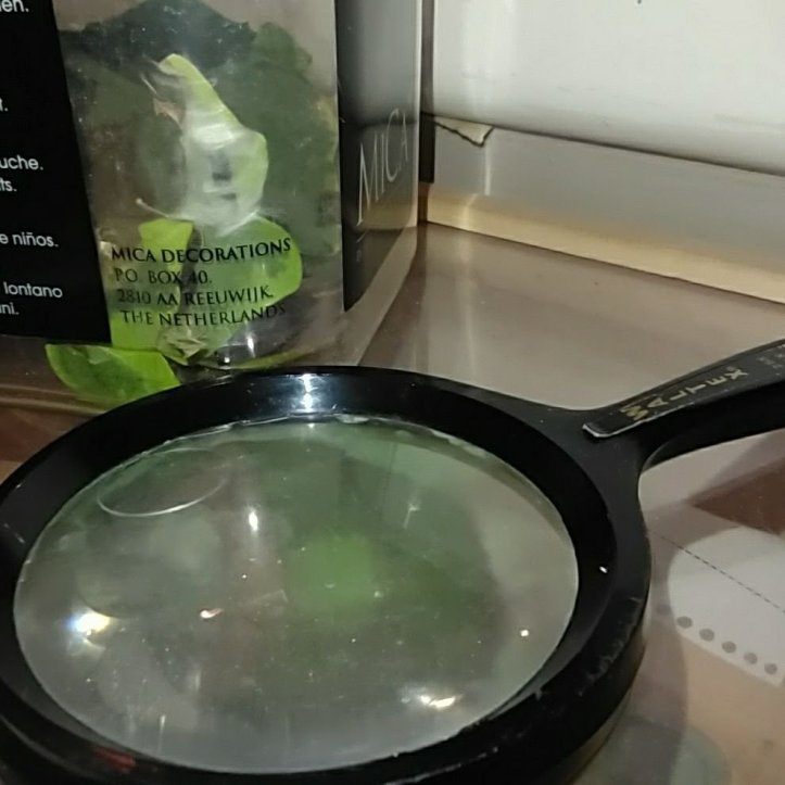 Pot transparent on es veu el capoll i la crisàlide, i una lupa
